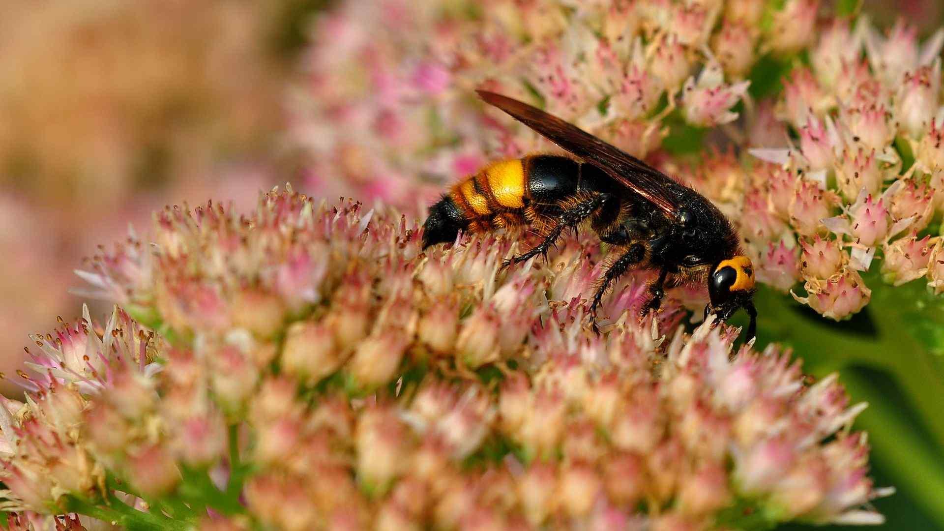 花丛中的蜜蜂清新自然图片高清电脑壁纸