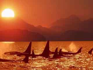 夕阳下的海豚高清