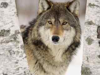 狼霸气雪地高清图