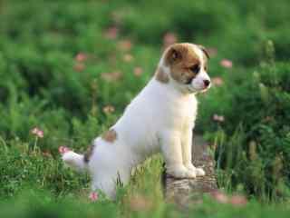 可爱小狗高清图片