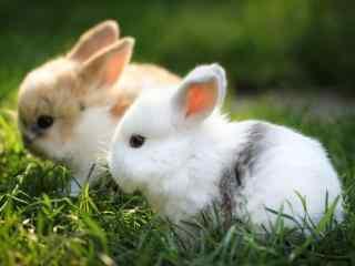 美丽呆萌的小白兔