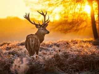 冬日暖阳下的麋鹿图片桌面壁纸