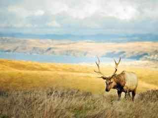 大草原上的麋鹿桌面壁纸