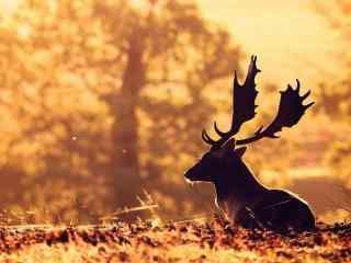 冬日暖阳下的麋鹿
