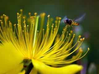 唯美微距蜜蜂桌面
