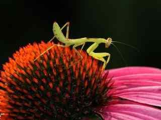 微距花朵上的螳螂