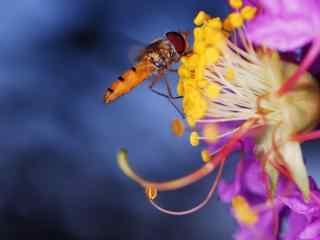 微距蜂蝇高清动物