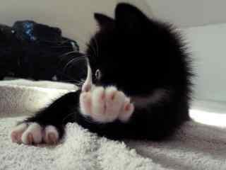 黑猫白爪可爱图片桌面壁纸