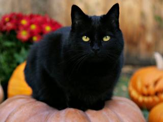 黑猫注视黄眼睛图片桌面壁纸