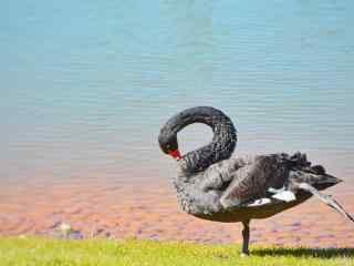 唯美天鹅单脚立湖