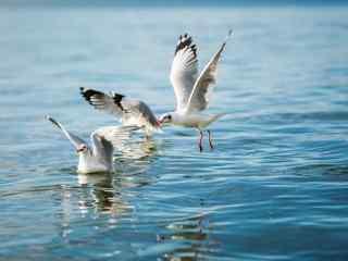 大理洱海红嘴鸥展翅图片高清桌面壁纸