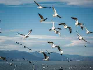 大理洱海红嘴鸥嬉闹飞翔图片高清桌面壁纸