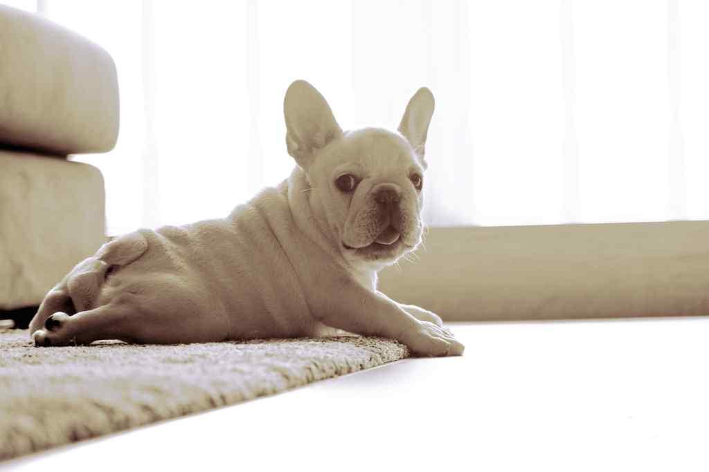 可爱的法国斗牛犬卖萌图片桌面壁纸