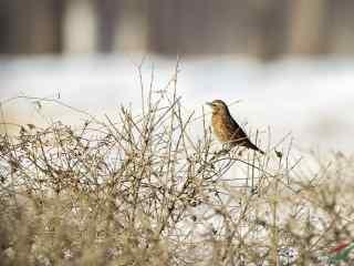 唯美冬日麻雀图片
