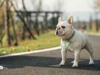 阳光下身材健硕的法斗犬图片桌面壁纸
