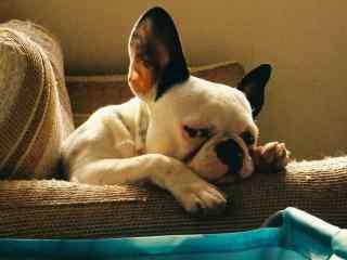 超可爱狗狗幽怨眼