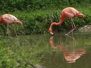 粉色火烈鸟湖中喝水图片桌面壁纸
