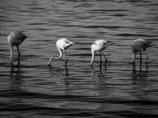 火烈鸟创意摄影黑白图片桌面壁纸