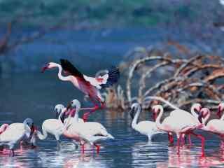 粉色火烈鸟展翅飞翔高清图片桌面壁纸