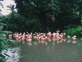一群粉色火烈鸟池塘休息图片唯美护眼桌面壁纸