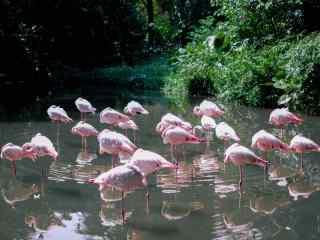 粉色的火烈鸟群体单脚站立唯美高清图片桌面壁纸