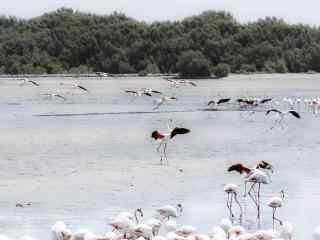火烈鸟群海边栖息玩耍图片桌面壁纸