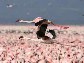 两只粉色火烈鸟展翅飞翔高清图片桌面壁纸