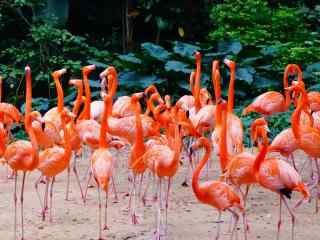火烈鸟群艳丽羽毛美丽图片高清护眼桌面壁纸