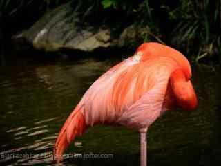 一只粉色火烈鸟单脚休息图片桌面壁纸