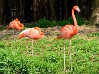 粉色火烈鸟草地栖息图片高清护眼桌面壁纸