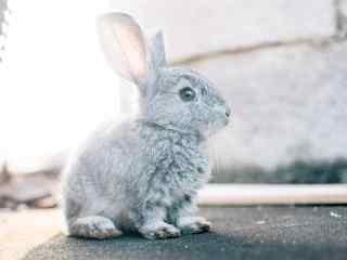 灰色的小兔子可爱