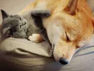 柴犬与猫咪和谐相