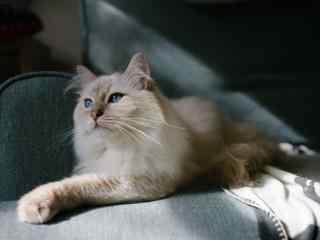 小猫咪神秘蓝色眼