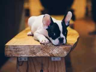可爱的斗牛犬躺在凳子上图片高清桌面壁纸