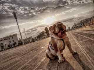 夕阳下的斗牛犬可爱唯美图片高清桌面壁纸