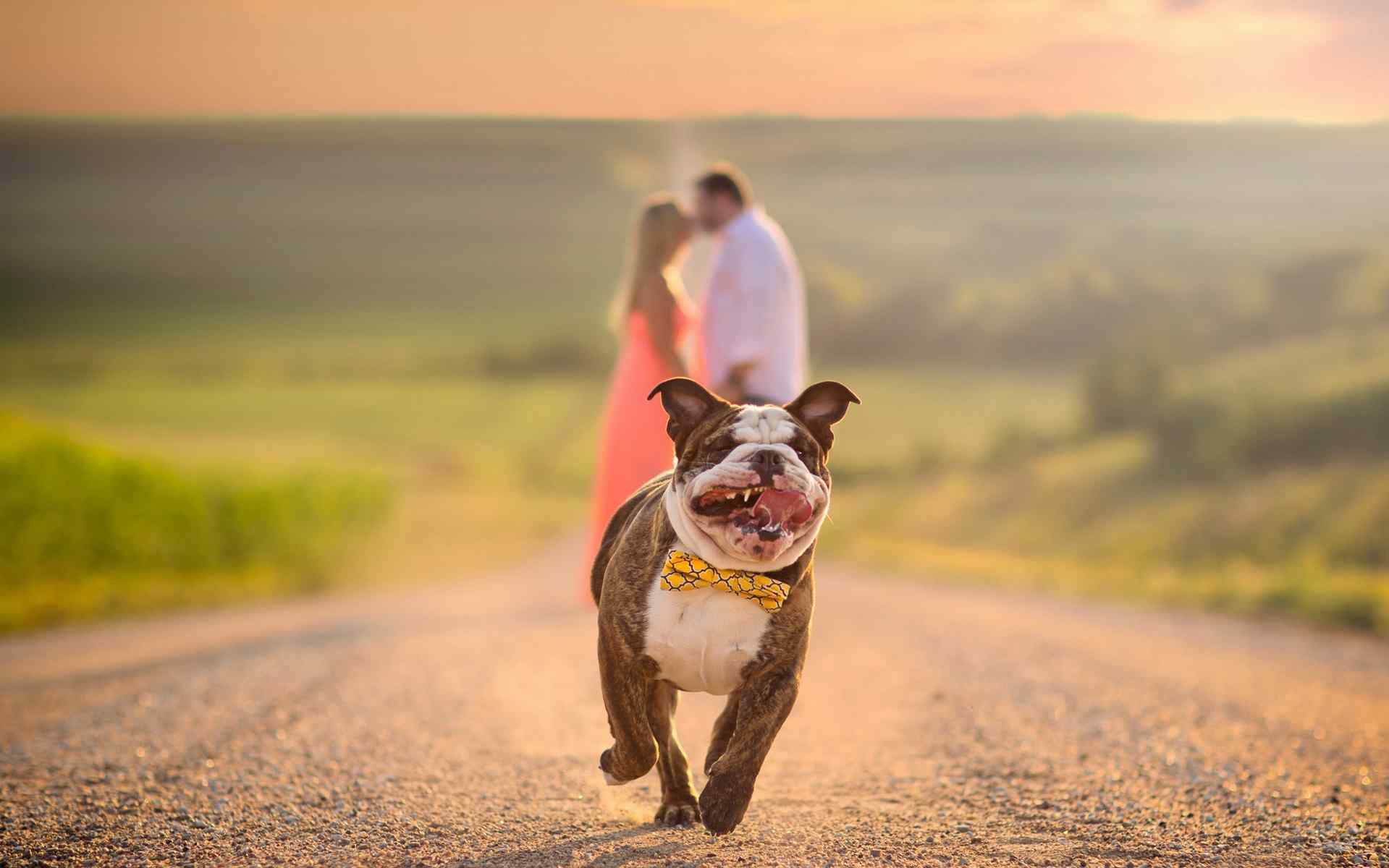 戴领结的斗牛犬奔跑可爱图片桌面壁纸