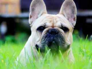 草地上的斗牛犬狗狗图片高清桌面壁纸