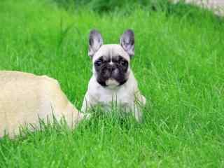 草地上可爱的斗牛犬图片高清桌面壁纸