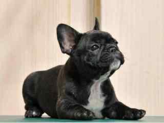 黑色斗牛犬卖萌可爱图片桌面壁纸
