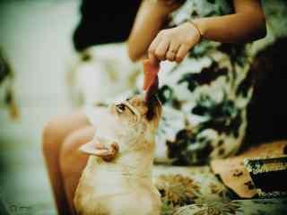 可爱斗牛犬狗狗喂食图片桌面壁纸