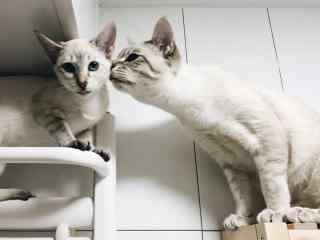 小猫咪甜蜜接吻图