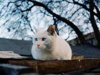 蓝色眼睛的猫咪可