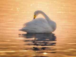 夕陽下優雅的天鵝美麗圖片高清桌面壁紙