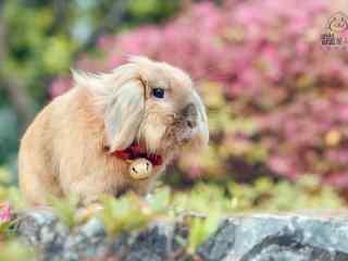 戴铃铛的垂耳兔可爱图片高清桌面壁纸