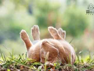 可爱呆萌的小兔子四脚朝天图片高清桌面壁纸