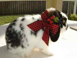 戴蝴蝶结的垂耳兔可爱图片高清桌面壁纸