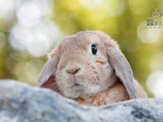 垂耳兔小脑袋可爱图片高清桌面壁纸