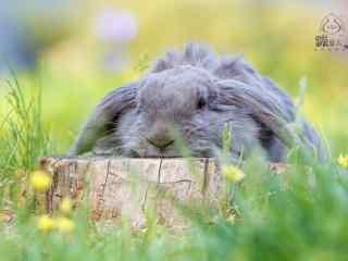 灰色垂耳兔可爱图片高清桌面壁纸