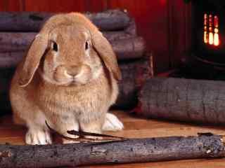 荷兰垂耳兔唯美动物摄影图片