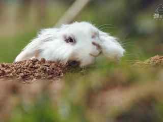 可爱的长毛垂耳兔图片高清桌面壁纸
